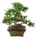 Бонсаи искусство выращивания миниатюрных деревьев